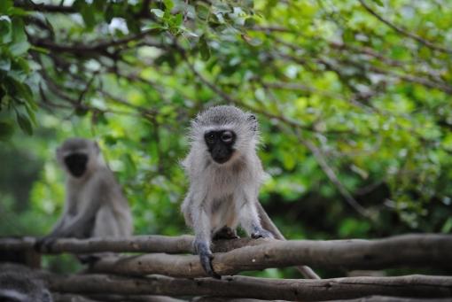 Kruger Nationalpark South Africa Ape