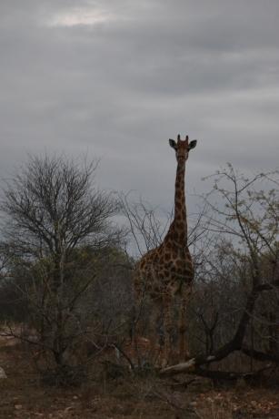 kruger nationalpark South africa