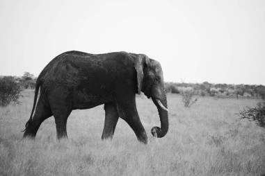 Gentle giant kruger nationalpark South Africa