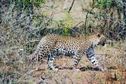 kruger nationalpark South africa leopard