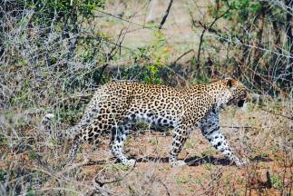 kruger nationalpark South africa leopard